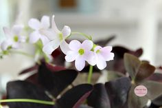 Kløver flower flowers blomster plante my home Havetssus