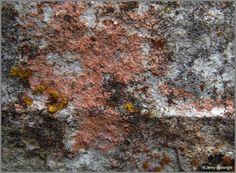 Belonia nidarosiensis Lichen