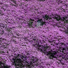Kangasajuruoho  Korkeus: 5–10 cm. Kasvutapa: Mattomaiset ajuruohot ovat puolivarpuja. Kukinta: Heinä–elokuu. Kukat ovat violetit tai valkoiset. Kasvupaikka: Aurinko; kasvualusta kuiva, vähäravinteinen, hiekkainen. Taimiväli: 30 cm.