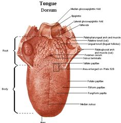 Labeled diagram of the human tongue - The human tongue is a ...