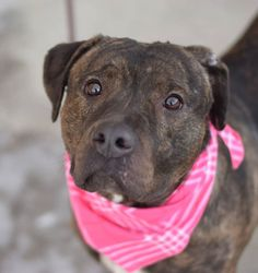 SAFE 02/09/15!  Was TO BE DESTROYED - 02/09/15 Brooklyn Center -P **NEW PHOTO**  My name is MELODY. My Animal ID # is A1026696. I am a female br brindle and white am pit bull ter mix. The shelter thinks I am about 3 YEARS old.  For more information on adopting from the NYC AC&C, or to  find a rescue to assist, please read the following: http://urgentpetsondeathrow.org/must-read/