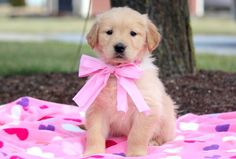 Candy – Golden Retriever Puppies for Sale in PA | Keystone Puppies
