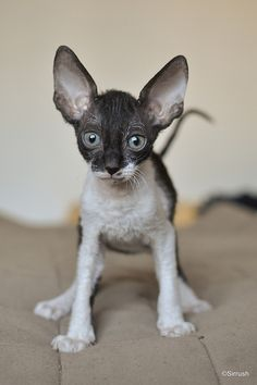 If I were to have another cat again, it would be this guy here.... a Cornish rex