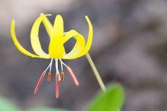 Utah Wildflowers - Glacier Lily