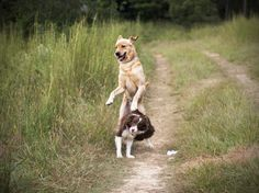 VSPDT Laura Brody discusses the topic of dog socialization and why modern domesticated dogs are showing more signs of dog-dog aggression than ever before.