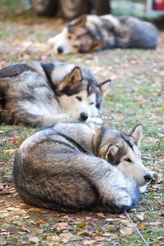 Alaskan Malamutes...my Buck was a malamute. He was a fun and goofy dog.