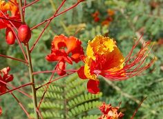 O Flamboyanzinho e um arbusto ou arvoreta, pertence à família Leguminasae, nativo das Antilhas, perene, de 3 a 4 metros de altura, copa de 2,5 m............