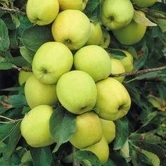 Mini Fruit Tree Patio Potted Garden Plants Apple Pear Plum Cherry Pots T&M Apple Fruit, Apple Pear, Buy Apple, Healthy Fruits, Fruits And Vegetables, Golden Delicious Apple, Apple Varieties, Beautiful Fruits, Plants Online