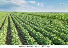 Soybean field ripening, agricultural landscape