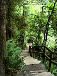 There are many trails in Capilano Regional Park's boundaries - to prevent erosion of the hillside and provide easier ascent up for users of the park, many trails have stairs provided by the Parks Board. The startling foliage surrounding the stairs is typical of the West Coast, ferns, fewer broad leaves and more conifers compose most of the parks found in Vancouver. This popular trail leads to the largest Fir in the Park which is estimated to be over 500 years old and over sixty-one meters…