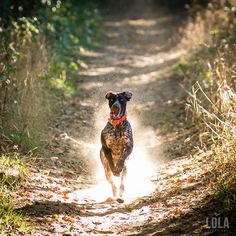 german shorthaired pointer photos trail running