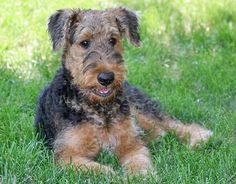 Ahh! Airedale puppy. <3