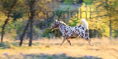 Spotted Pony Appaloosa Fine Art Print by WesternGalleries on Etsy, $20.00