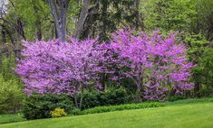 Eastern Redbud: How to Plant and Care for a Native Flowering Tree Gardening Eastern Redbud Trees Gardenista post by Marie Viljoen April 2018 More from my siteelephant drawings Landscaping On A Hill, Tropical Landscaping, Landscaping With Rocks, Landscaping Plants, Landscaping Ideas, Farmhouse Landscaping, Outdoor Landscaping, Trees And Shrubs, Trees To Plant