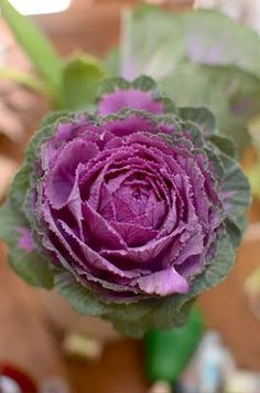 Love to put this in a large terracotta pot with purple pansies and ivy for the fall season by the door. Fall Flowers, Beautiful Flowers, Wedding Flowers, October Flowers, Cabbage Flowers, Perennial Bulbs, Ornamental Cabbage, Botanical Flowers, Rose Cottage
