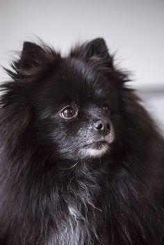 Black Pomeranian Alice G Patterson Photography for Daily Dog Tag- lifestyle dog . Black Pomeranian Puppies, Pomeranian Facts, Puppy Husky, Cute Pomeranian, Pomeranian Breed, Rescue Puppies, Cute Dogs And Puppies, Pet Dogs, Doggies