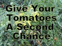 How to Help Stressed Tomatoes - pick off  wilted leaves on your tomato plants  & get rid of them (do not return these leaves to the soil that your tomatoes are growing in). Arrange a shade cover for your tomatoes to help protect them from getting too much sun. Make some compost tea to give your tomatoes a nutrient boost straight to their roots, use a good garden sprayer to apply.