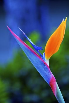 ~~Taking Flight | Bird of Paradise by Jade Moon~~