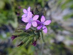 Philippiella | deptford pink (dianthus armeria)