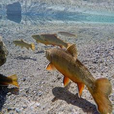 #brooktrout