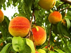 Preservation expert Mick Telkamp offers his tips on how to freeze fresh peaches to let summer goodness last all year long.