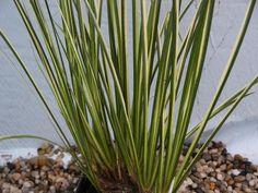 Aquarium Plants Acorus gramineus VAR variegatus