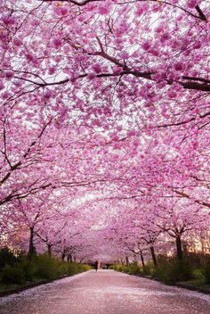 Kopenhagen.  ||  THIS IS HOW I WOULD LOVE OUR DRIVEWAY TO LOOK! A CANOPY OF CHERRY BLOSSOMS! ♥A