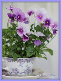 Old cup filled with Violas (1) From: Warren Grove Garden, please visit