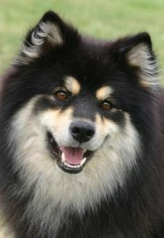 I have the opportunity to adopt a finnish lapphund! But I don't think Shane will let me! D: