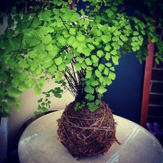 kokedama maiden hair fern for the more experienced indoor gardener. Although I have killed pretty much every maiden hair fern except in the plant orbs or mossball. So be #adventurous and #test your #limits!  http://instagram.com/p/sy-5sQpxqI/?modal=true
