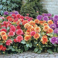 Border Dahlia Blend - Flowers And Bulbs Beautiful Gardens, Beautiful Flowers, Mixed Border, Spring Hill Nursery, Pot Jardin, Border Plants, Organic Gardening Tips, Dahlia Flower, Gardening For Beginners