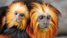 Brazil hopes to save species by #cloning them: Scientists say any successfully cloned #animals would be used in zoos for captive breeding, and would only be released into the wild as a last resort. #endangeredspecies