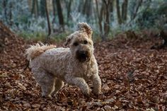 Dog Training Tips. It's not enough to own a dog; you must have it well trained to be well behaved and do your bidding. There are basically two ways to go. Lakeland Terrier, Irish Terrier, Wheaten Terrier, Dog Training Tips, Dog Pictures, Dogs, Solution, Voodoo, Derby