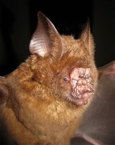 The newly-discovered Griffin's leaf-nosed bat.