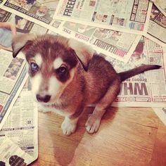 What's all this newspaper for?  #newspaper #toilettraining #puppytraining #northern #inuit #northerninuit #blueeye #cutestpup #puppy #pup #pooch #puppies #puppiesofinstagram #dog #doggy #dogsofinstagram #wolf #wolfdog #husky #germanshepherd #cross #growingup #woof #Padgram