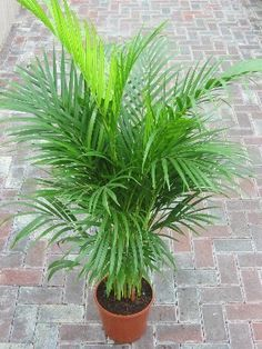 Indoor Plant -House or Office Plant -Chrysalidocarpus lutescens Areca Palm - Butterfly Palm 1m