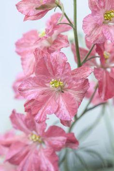 Delphinium consolida 'King Size Scarlet'