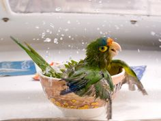 Funny pictures about A bathing parrot. Oh, and cool pics about A bathing parrot. Also, A bathing parrot photos. Pretty Birds, Love Birds, Beautiful Birds, Animals Beautiful, Beautiful Pictures, Tier Wallpaper, Animal Wallpaper, Parrot Wallpaper, Wildlife Wallpaper