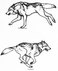 Wolf running sketches by silvercrossfox.deviantart.com on @deviantART