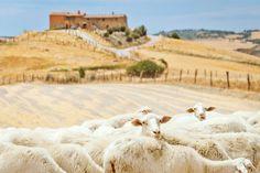 Schapen in Val die Chiana Toscane van Jeroen Berends