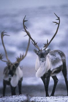 A Caribou, also called reindeer, with magnificent antlers, looking straight into the camera.