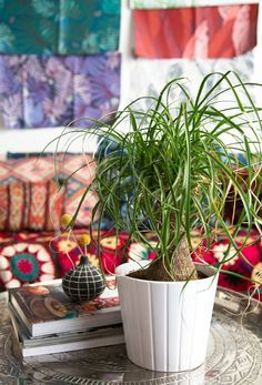 Plant-o-Pedia: Ponytail Palm