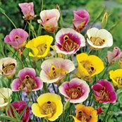 10 Mariposa Sky Lilies Mixture