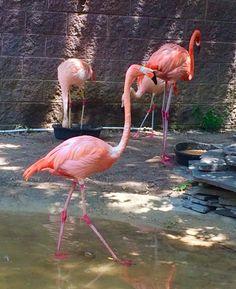 Flamingos: Cape May, NJ