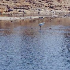 This is a snow heron. He is searching for food. He is able to confuse the fish and catch them before they escape.