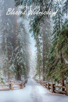 Hiver - neige *m Winter Sequoia Trees California I Love Snow, Winter Love, Winter Is Coming, Winter Snow, Winter Walk, Winter Green, Fall Winter, Winter Forest, Winter Magic