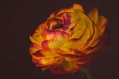 Free Image on Pixabay - Ranunculus, Flower, Blossom, Bloom