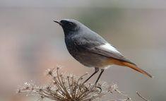 Codirosso spazzacamino in posa ---------- 📸 Anna Gelmetti #fotodelgiorno 16 dicembre 2020 #myvalsusa 1812 Bird, Flowers, Animals, Art, Animales, Animaux, Birds, Animal, Animais
