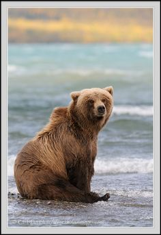 Grizzly bear sitting up - photo#23