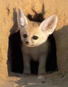 Fennec Fox Pup - cute